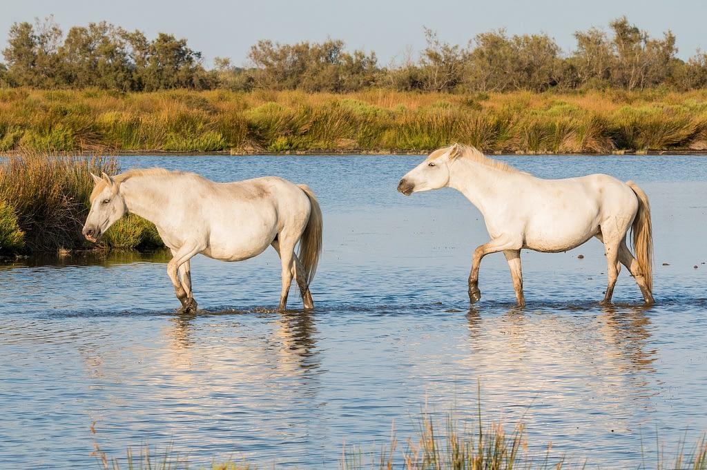 caballos camargue provence