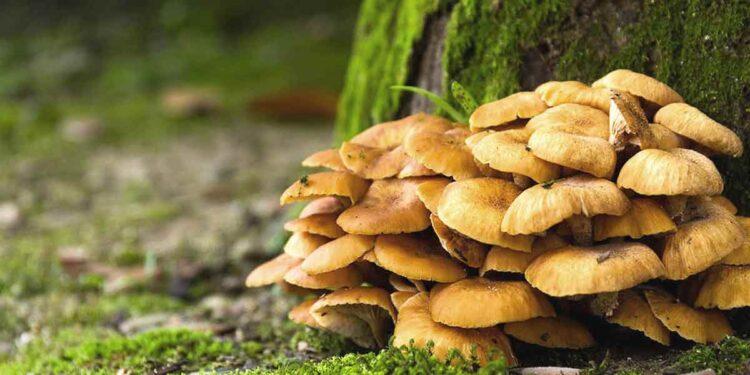 Las extraordinarias propiedades del hongo maitake